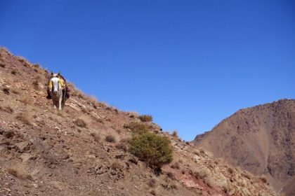 Maultier im Atlasgebirge