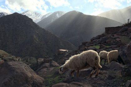 Schafe im Atlasgebirge