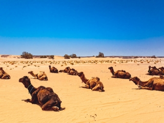 Dromedare, Erg Chegaga, Marokko