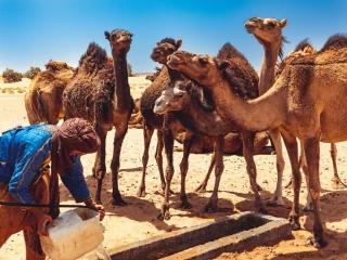 Dromedare am Erg Chegaga in Marokko