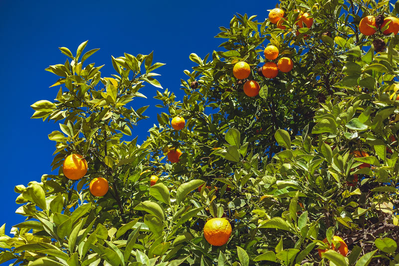Orangenbäume in Marrakesch, Bahia-Palast